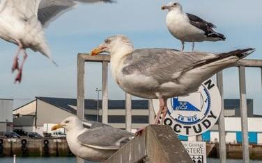 Loctudy mouettes sur le port